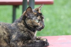 Barn cat with light green eyes. Profile of the black brown and tan barn cat laying outside on a picnic table bench, staring to the right with light green eyes Stock Images