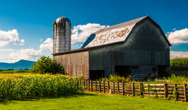 Barn and corn fields on a farm in the Shenandoah Valley, Virgini. A Royalty Free Stock Image