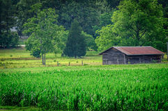 Barn in Cornfield stock images