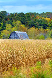 Barn and Cornfield. Rustic, wooden and weathered barn sits in the middle of a cornfield.  Fall colors hillside behind barn Stock Photography
