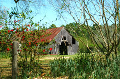 Barn on Country Backroad. Barn is framed by blue sky and a flowering bush.  Fence is infront along with other plants Stock Image