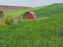 Barn creates an oasis in the wheat fields Royalty Free Stock Photo