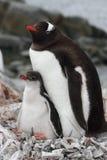 barn för Antarktisförälderpingvin royaltyfri bild