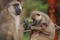 barn för baboonskvinnligolivgrön Royaltyfria Bilder