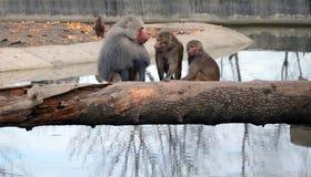 barn för baboonskvinnligolivgrön Royaltyfri Foto