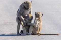 barn för baboonskvinnligolivgrön arkivfoton