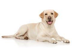barn för labrador retriever royaltyfri foto