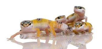 barn för leopard för eublepharisgeckogrupp macular royaltyfri fotografi
