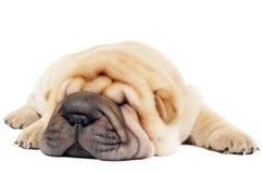 barn för sharpei för closeuphund liggande Royaltyfri Bild