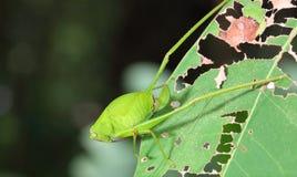 barn för skoggräshoppamakro royaltyfri bild