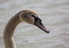 barn för stum swan Arkivfoton