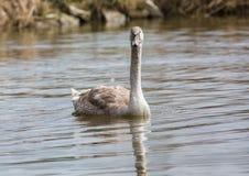 barn för stum swan arkivbild