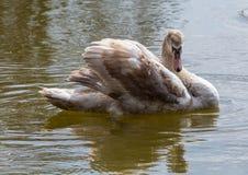 barn för stum swan arkivfoto