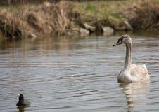 barn för stum swan royaltyfria foton