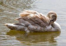 barn för stum swan royaltyfri fotografi