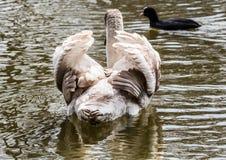 barn för stum swan Arkivbilder