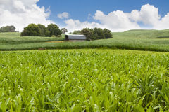 Barn in farm corn field Stock Images