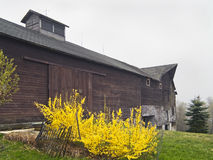 Barn and Forsythia Stock Photos