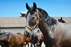 Barn fullblods- häst mot den blåa himlen Arkivbilder