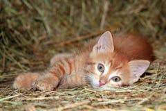 Barn Kitten Royalty Free Stock Images