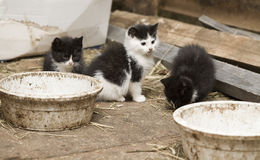 Barn Kittens. Three barn kittens wait for their food royalty free stock image
