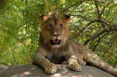 Barn Lion Sitting på ramp royaltyfri bild