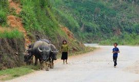 Barn med bufflar på bergvägen i Khanh Hoa, Vietnam Arkivbild