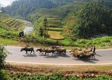Barn med bufflar på gatan i Hanoi, Vietnam Royaltyfria Foton