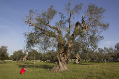 Barn och olivträd Royaltyfri Bild
