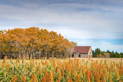 Barn and Orange Trees. Behind a field of grain Royalty Free Stock Image