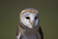 Barn Owl 1 stock images