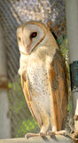 Barn owl. The Barn Owl is a pale, long-winged, long-legged owl with a short squarish tail Royalty Free Stock Image