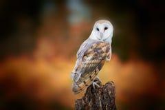 Free Barn Owl Stock Photo - 102444280