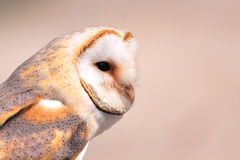 Barn owl. Portrait of a barn owl. Latin name: Tyto alba stock photography