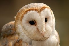 Barn owl. A close up of a barn owls face royalty free stock photos