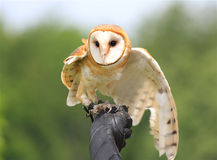 Barn Owl. A captive Barn Owl (Tyto alba) stretches one wing while tethered and perched on its trainer's gloved hand Royalty Free Stock Photos