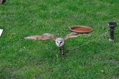 Barn owl Royalty Free Stock Photo