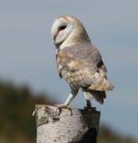 Barn Owl Royalty Free Stock Photo