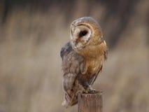 Free Barn Owl Royalty Free Stock Photography - 1702117