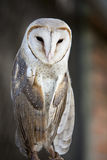 Barn owl. Royalty Free Stock Photography