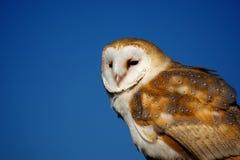 A barn owl Stock Image