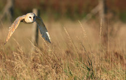 Barn Owl. A barn owl flying during his hunt for a prey Royalty Free Stock Image