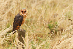 Barn Owl Stock Images