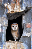 Barn owl. Portrait of a barn owl in the zoo royalty free stock images