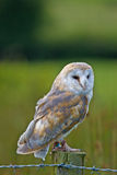 Barn Owl. A captive Barn Owl perched on a fence post.in Mid Wales Stock Images