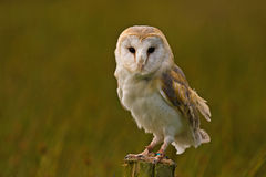 Barn Owl. A captive Barn Owl perched on a fence post.in Mid Wales Royalty Free Stock Photo