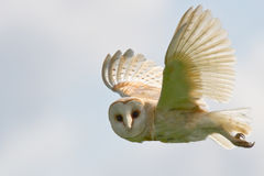 Free Barn Owl Royalty Free Stock Photos - 20471978