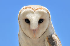 Barn owl. Close-up with blue sky in the background Royalty Free Stock Photo