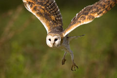 Barn Owl. A common Barn Owl in flight   against a green background Stock Photo