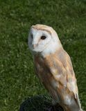 Barn Owl. With familiar heart shaped white face Royalty Free Stock Image